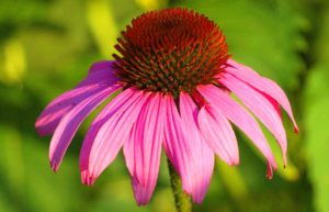 Echinacea e sistema immunitario